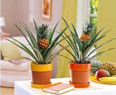 Многие люди неоднократно задавались вопросом, как вырастить ананас дома из верхушки