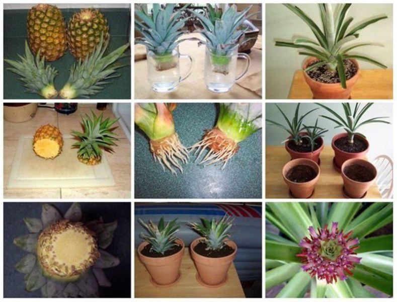 Для гармоничного роста и развития ананаса его необходимо периодически подкармливать
