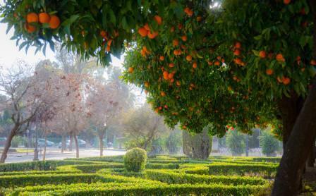 Те, кто хоть раз бывал в средиземноморских странах и видел цитрусовые рощи, знает, что это красивое вечнозеленое дерево