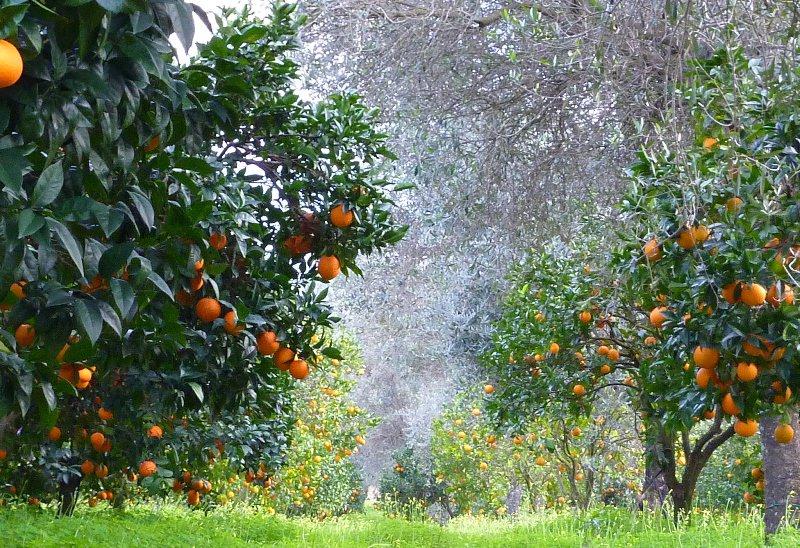 Все деревья, которые встречаются в Средиземноморье или странах Юго-Восточной Азии, являются окультуренными