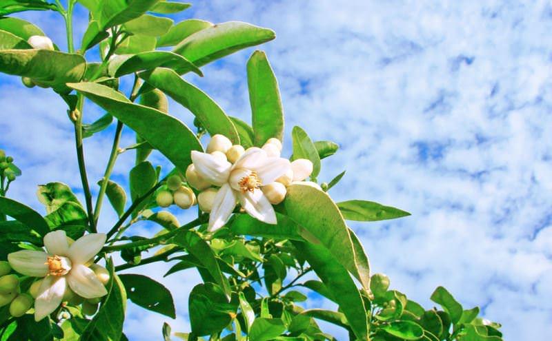 Одно из главных преимуществ этого деревца - это цветы апельсина