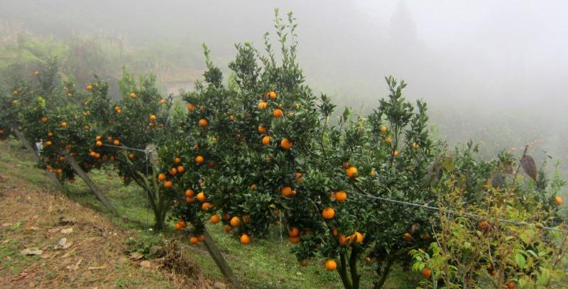 Выращенный в саду (то есть в природных условиях) апельсин представляет собой достаточно высокое дерево