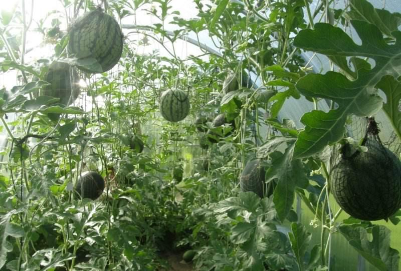 В условиях теплицы вырастают небольшие арбузы, которые завязываются в большом количестве