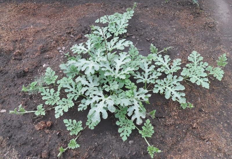 В жаркую погоду растения орошают 3 раза в неделю, а в обычных условиях — не более 2 раз