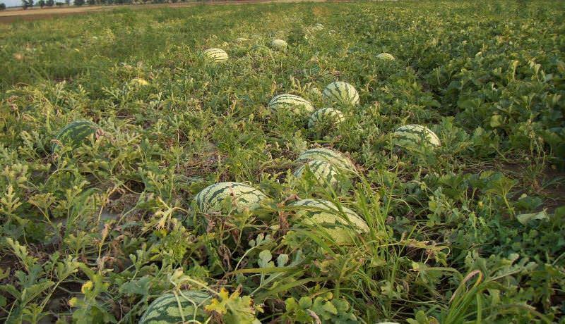 Главная задача бахчеводов при выращивании арбузов в сибирском регионе – это создание специального температурного режима
