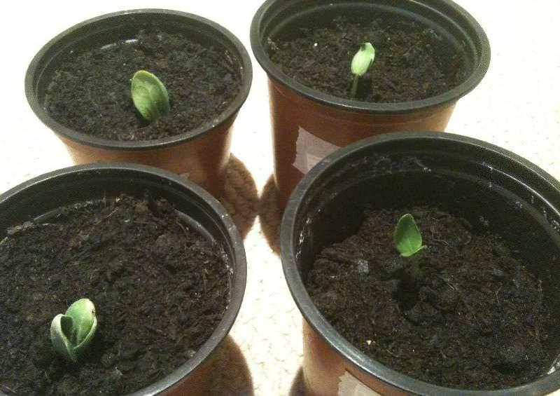 Семена арбузов должны быть приспособлены к конкретному климатическому поясу