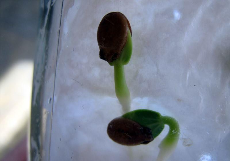 Перед посадкой семена обязательно подвергают процедуре замачивания, чтобы семена быстрее прорастали в почве