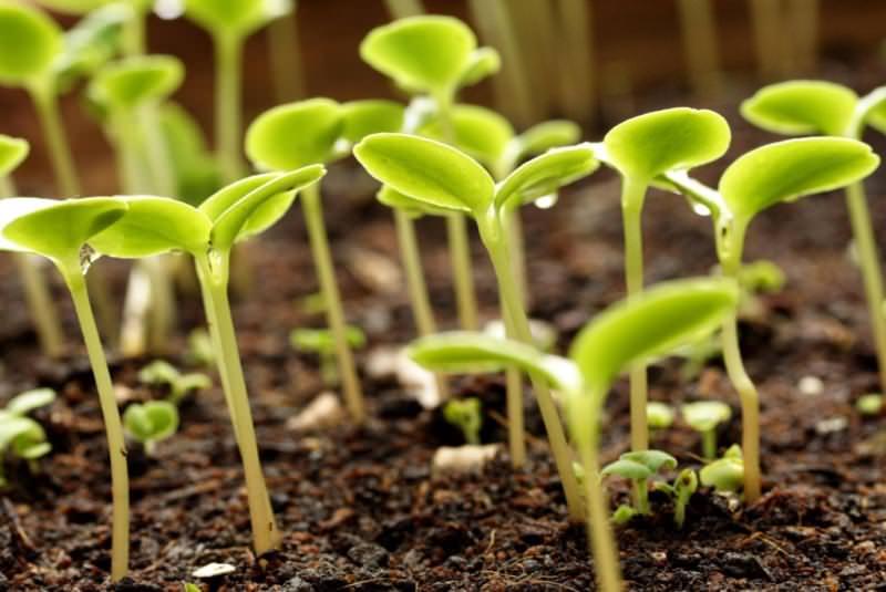 Рассадный способ позволяет получить урожай рано