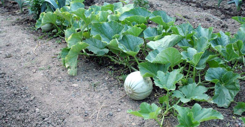 Для посадки арбузов выбирайте высокий, солнечный и сухой участок