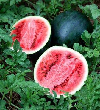 Сорт арбуза Огонёк относится к раннеспелым разновидностям ягоды