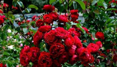 Парковая роза – цветок, нуждающийся в пространстве