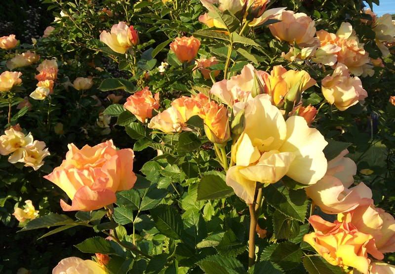 Все парковые сорта подразделяются на однократно и повторно цветущие