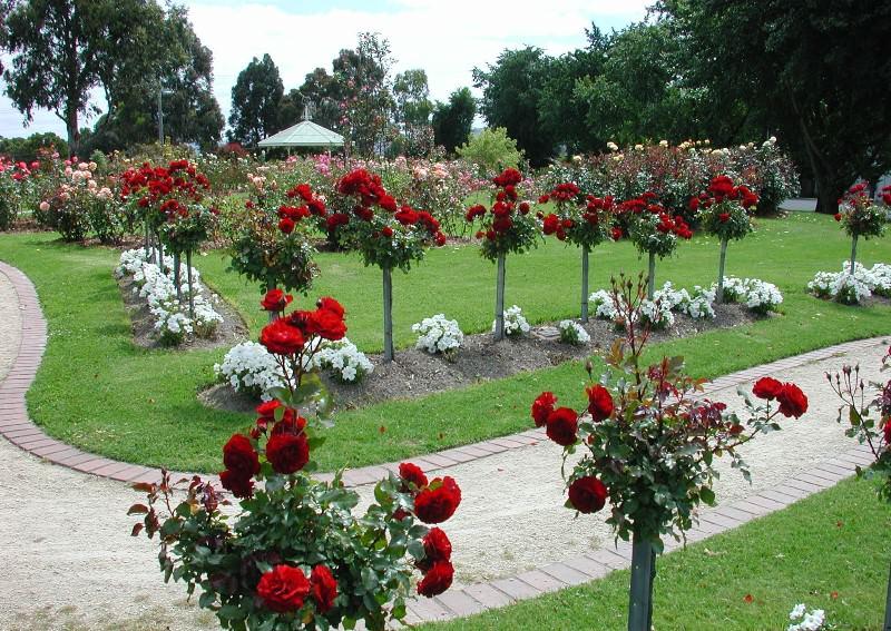 Парковые розы имеют внушительную высоту, их очень любят ландшафтные дизайнеры