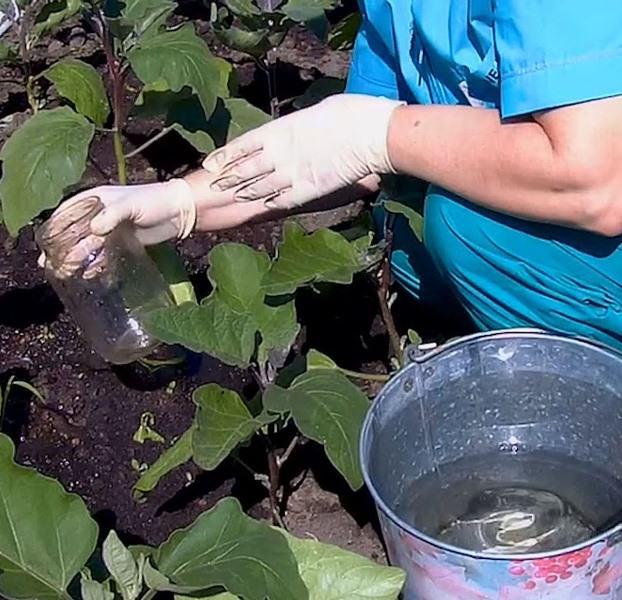 За сезон баклажаны Король севера f1 допускается подкармливать до 6 раз, в зависимости от состава почвы и состояния кустов