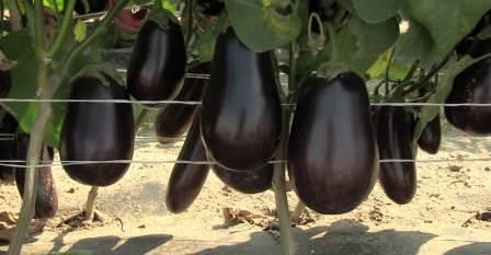 Баклажаны являются востребованной овощной культурой