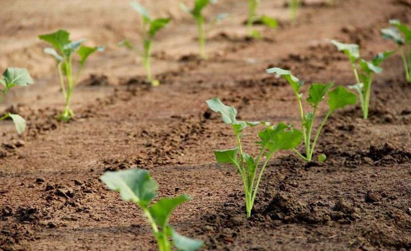 В климатических условиях Подмосковья целесообразно высаживать рассаду баклажанов в открытый грунт в конце мая