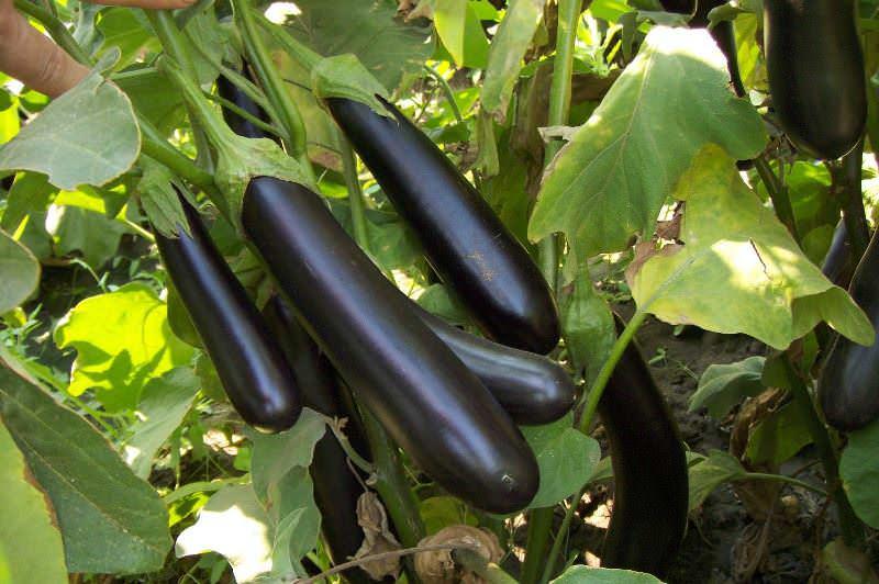 Для тех, кто хочет получить урожай баклажан быстро и без лишний усилий, специально создан сорт Негус