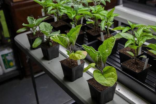 Чтобы четко определить оптимальные сроки для посадки семян баклажан, желательно брать за ориентир лунный календарь