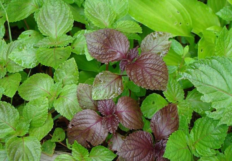 И зелёный, и фиолетовый базилик обладает полезными свойствами