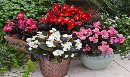 Среди популярных растений у цветоводов выделяется бегония, привлекающая внимание своим ярким и пышным цветением