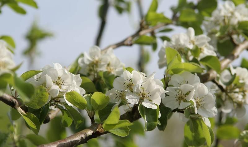 Цветение у сорта Бере осуществляется поздно, поэтому цветки не страдают от весенних заморозков