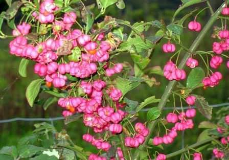 Бересклет хорошо известен многим садоводам