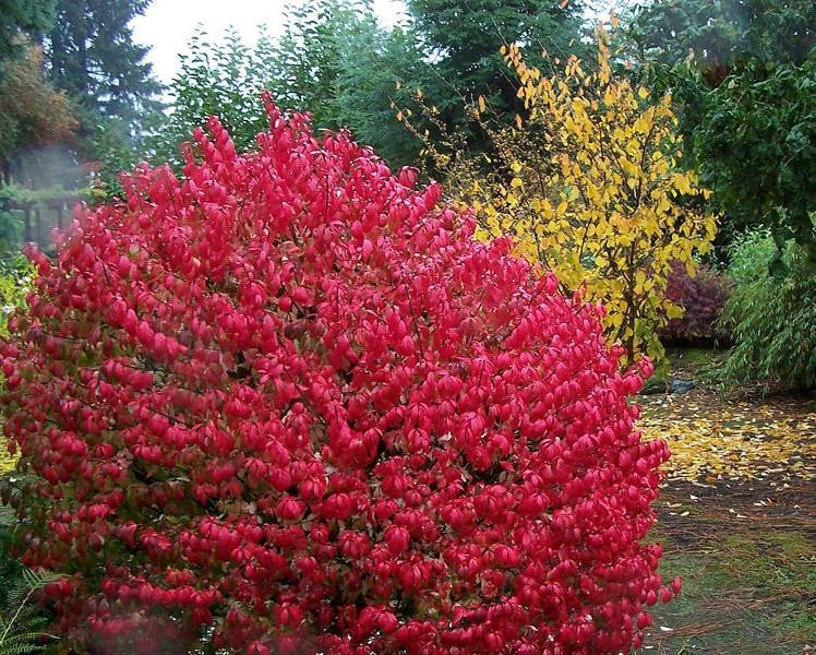 Вся красота дерева раскрывается в сентябре - листья приобретают ярко-красный цвет
