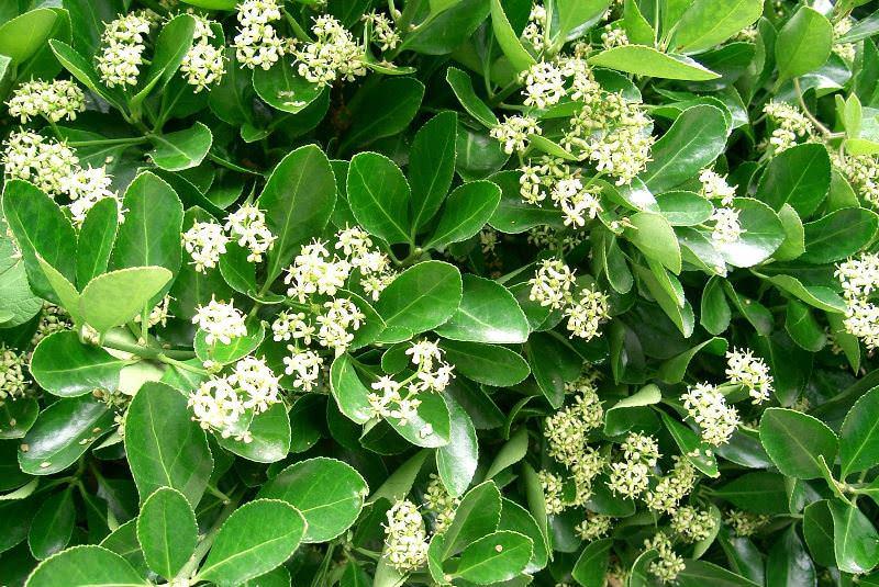 Бересклет японский является вечнозеленым кустарником или лианой
