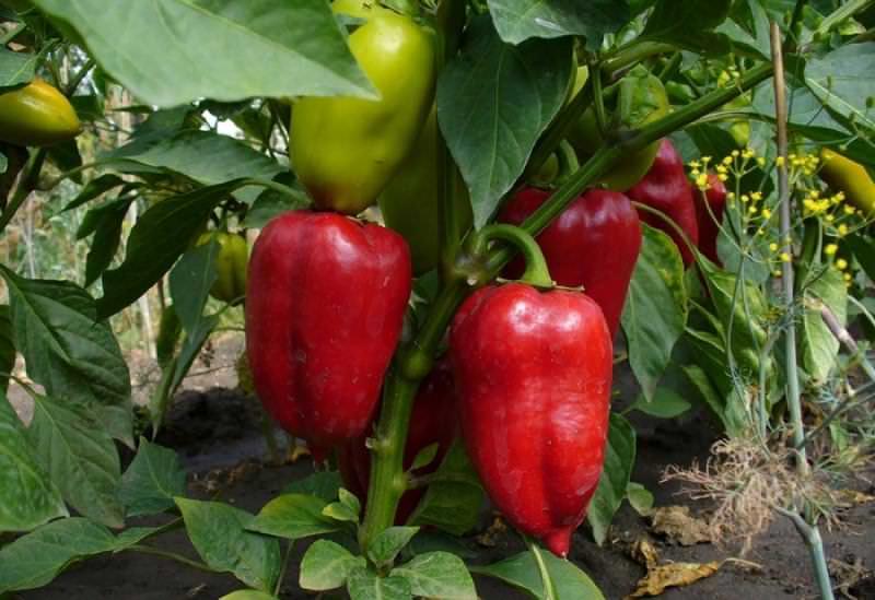 В плодах перца содержится большое количество макро и микроэлементов, каротин, большое количество витаминов, в том числе витамин С