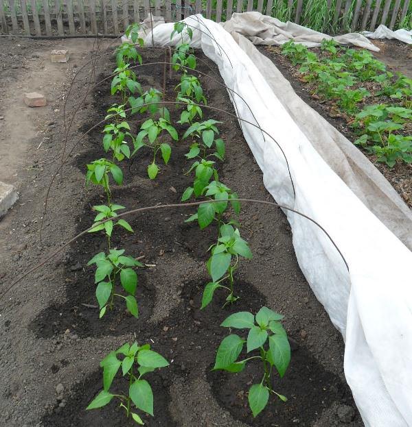 Температура почвы, в которую высаживают перцы, должна быть не менее 17 – 19 градусов Цельсия