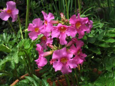 Инкарвиллея станет цветущим украшением участка в летнее время