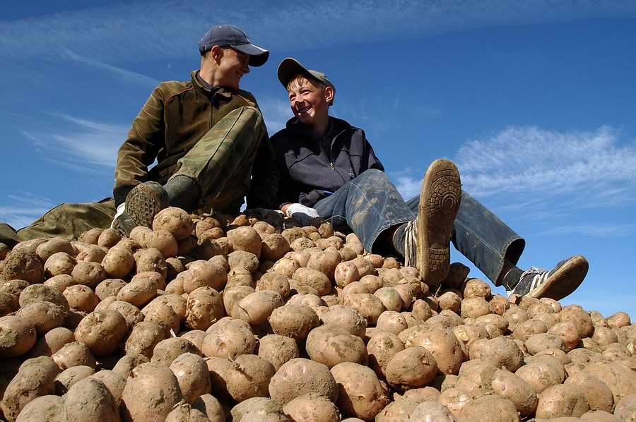 Картофель можно убирать, когда подсохла ботва
