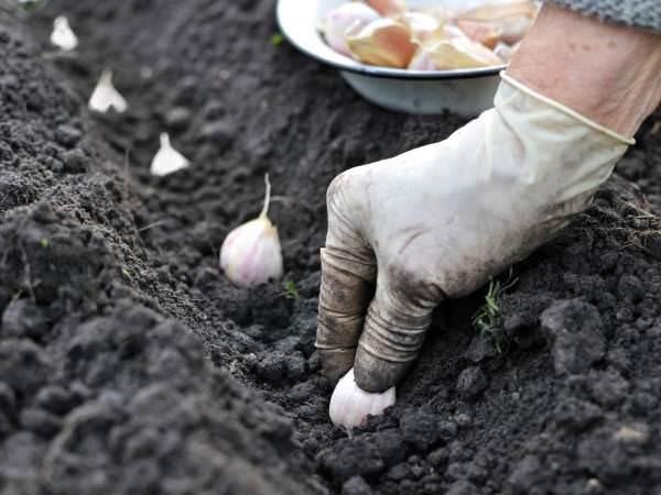 Чтобы обеспечить ранний урожай посадку некоторых культур производят под зиму