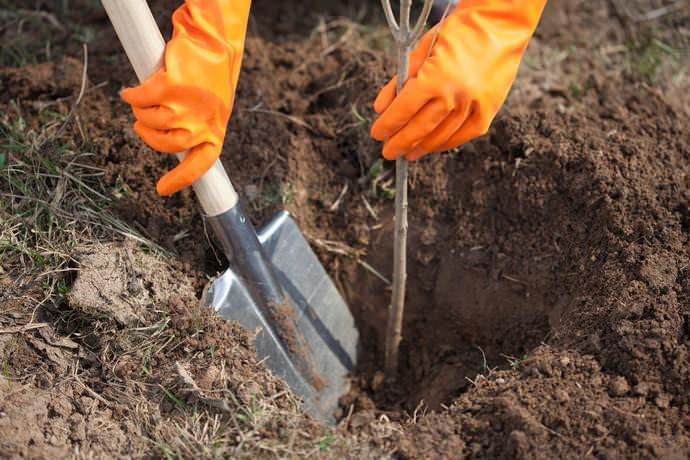 За месяц до наступления морозов высаживают саженцы плодовых деревьев