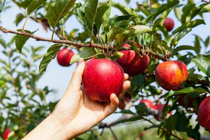 Осенние работы в саду начинаются со сбора урожая с плодовых деревьев