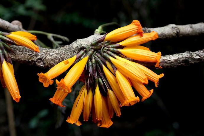 Радермахера огненная или огненное жасминовое дерево (Radermachera ignea)