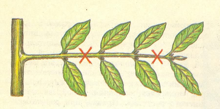 Изумрудное дерево размножают черенками
