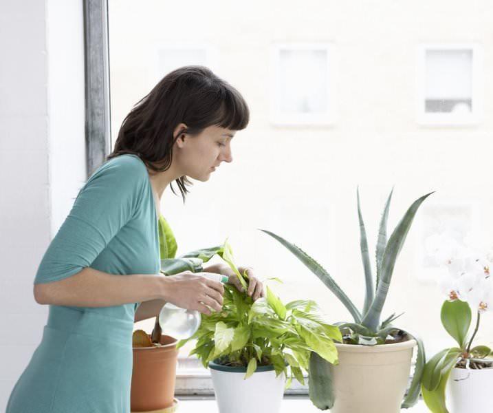 Полив диффембахии систематический – растение не переносит сухого кома
