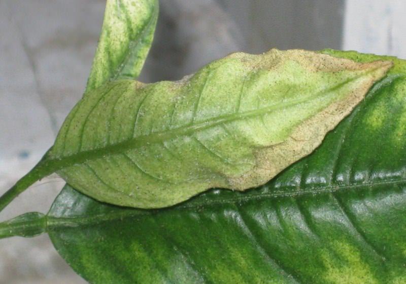 Клещи поедают эпидермис, после чего листья диффембахии приобретают свинцовый оттенок
