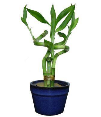 Бамбуком ее называют только потому, что ее внешний вид очень схож с этим растением