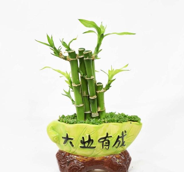 Драцена сандера считается самым влаголюбивым растением этого вида