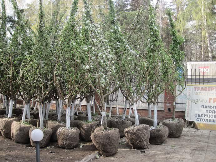Взрослые деревья и кустарники, которые достаточно легко переносят пересадку, не теряя при этом листву и не прекращая цветение после этой процедур, относят к группе устойчивых пород