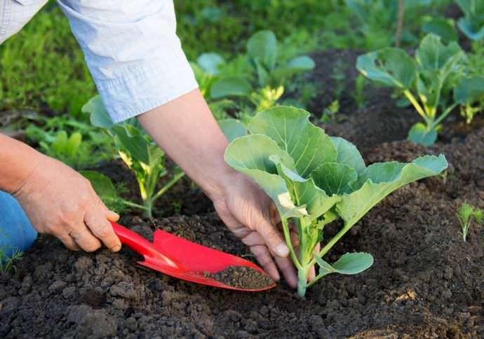 Высаживать рассаду допустимо после прогрева грядок до 10-12 градусов при условии отсутствия риска заморозков и соответствующей температуре