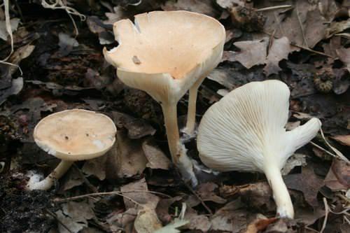 Говорушки относятся к пластинчатым грибам семейства рядовковых
