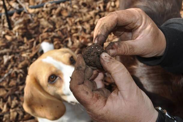 Помогают искать трюфели собаки