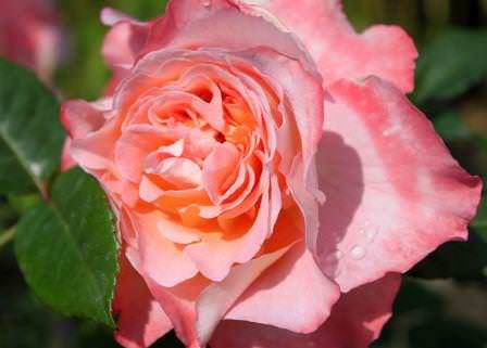 Роза Августа Луиза относится к чайно-гибридной группе