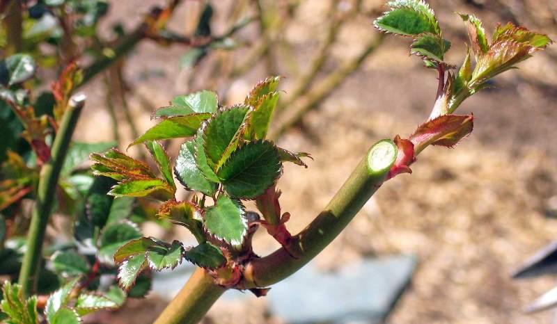 В весенний период растение обрезают для придания кустам нужной формы