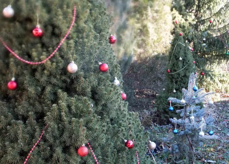 Ель Глаука коника можно нарядить на период новогодних праздников