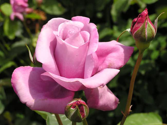 Период обильного цветения сорта Шарль де Голль очень продолжительный, непрерывный на протяжении всего сезона