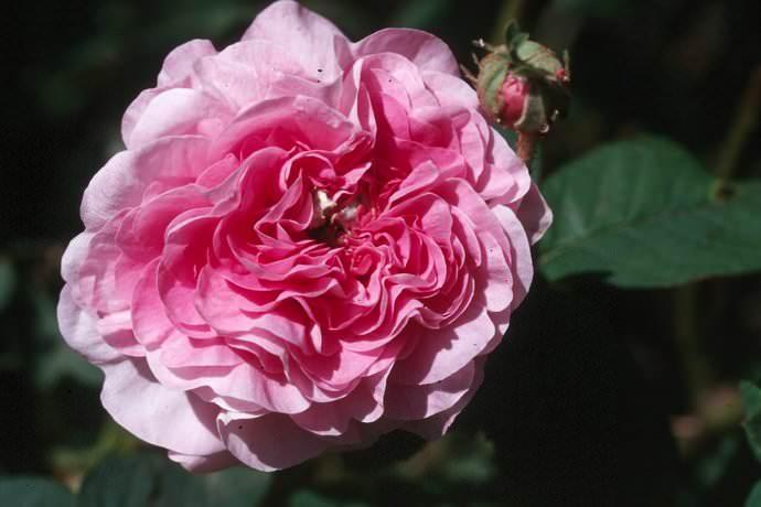 Среди всех разновидностей дамасская роза является одной из самых душистых